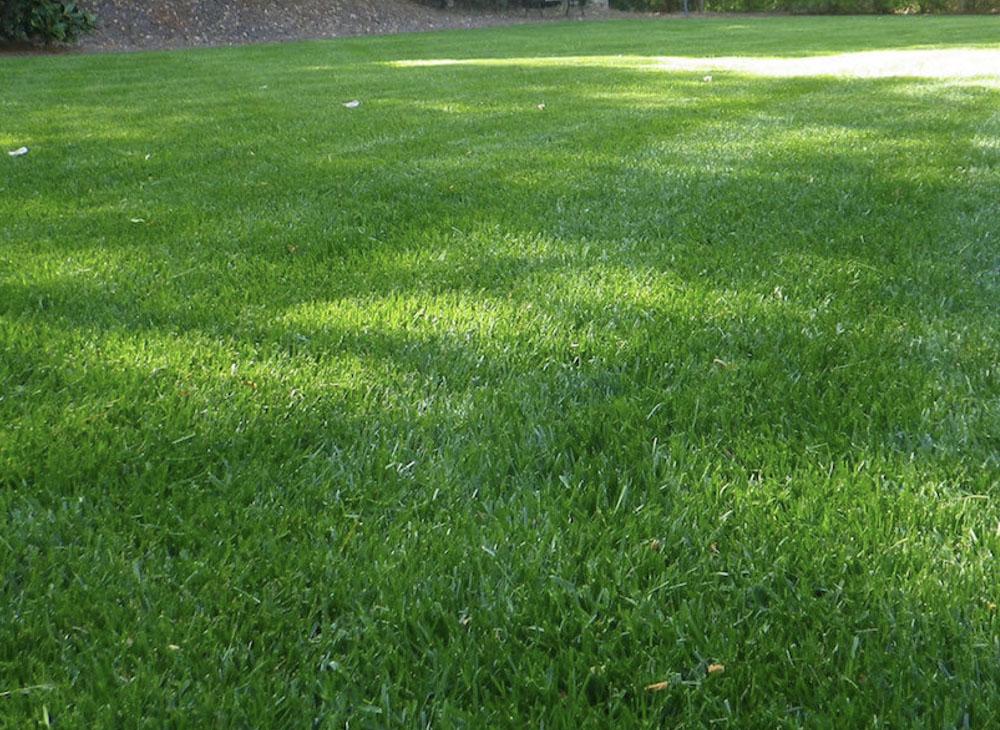 Zoysia grass williston