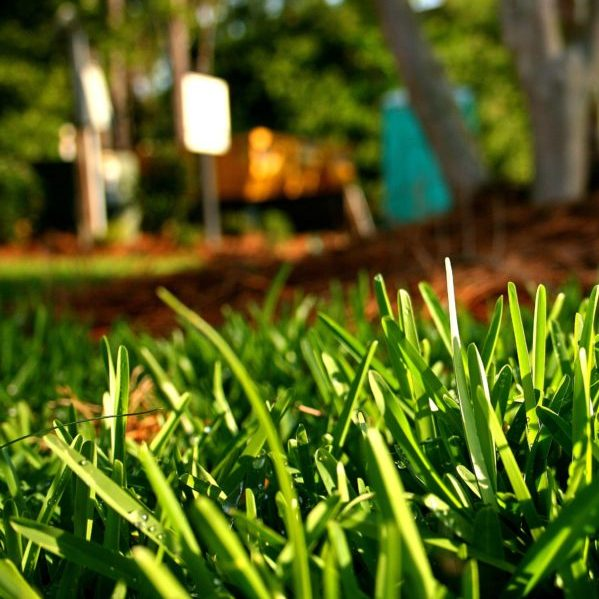 St. Augustine Palmetto Grass